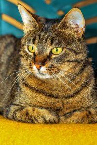ESTJ Cat Breed